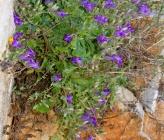 Campanula anchusiflora
