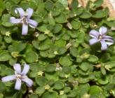 Campanula asperuloides