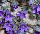 Campanula celsii subsp spathulifolia