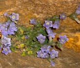 Campanula hagielia