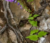 Campanula rapunculoides subsp rapunculoides