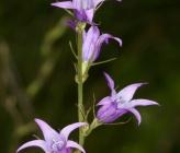 Campanula rapunculus subsp rapunculus