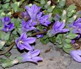 Campanula topaliana subsp topaliana