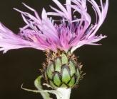 Centaurea epirota