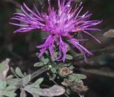 Centaurea grisebachii subsp grisebachii