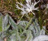 Centaurea napulifera subsp napulifera