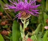 Centaurea nervosa subsp promota