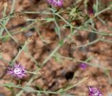 Centaurea orphanidea