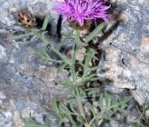 Centaurea pawlowskii