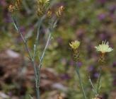 Centaurea pelia