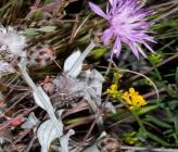 Centaurea pseudocadmea
