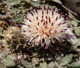 Centaurea raphanina subsp mixta
