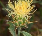 Centaurea salonitana