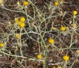 Centaurea solstitialis subsp solstitialis