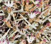 Centaurea spinosa