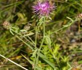 Centaurea stoebe subsp serbica