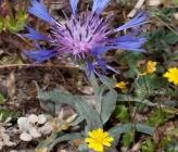 Centaurea triumfettii subsp axillaris