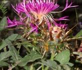 Centaurea urvillei subsp urvillei