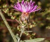 Centaurea grisebachii subsp occidentalis