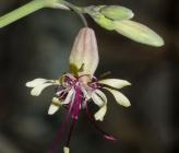 Silene fabaria subsp domokina