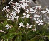 Silene italica subsp italica