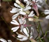 Silene italica subsp peloponnesiaca