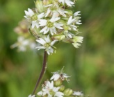 Silene roemeri subsp macrocarpa